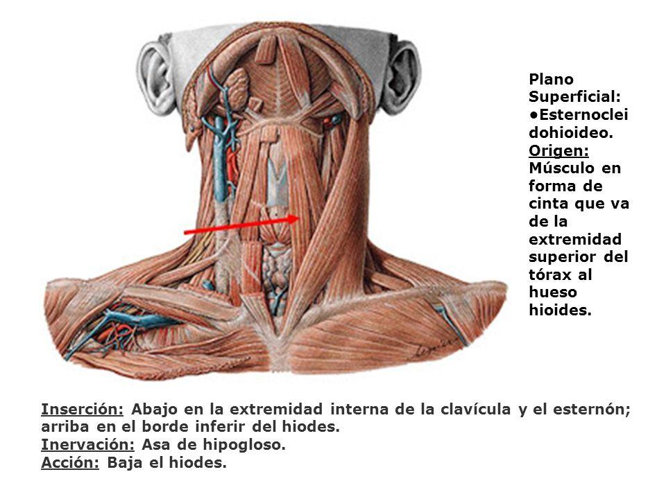Plano Superficial: Esternoclei dohioideo. Origen: Músculo en forma de cinta que va de la extremidad superior del tórax al hueso hioides. Inserción: Ab