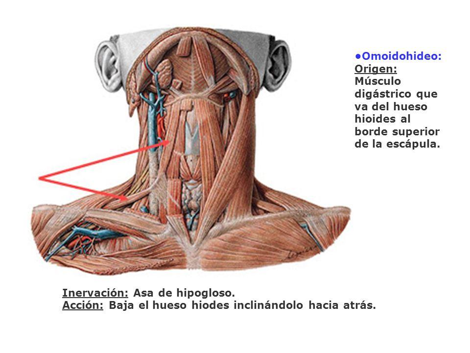 Omoidohideo: Origen: Músculo digástrico que va del hueso hioides al borde superior de la escápula. Inervación: Asa de hipogloso. Acción: Baja el hueso