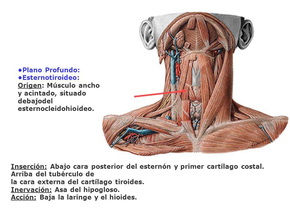 Plano Profundo: Esternotiroideo: Origen: Músculo ancho y acintado, situado debajodel esternocleidohioideo. Inserción: Abajo cara posterior del esternó
