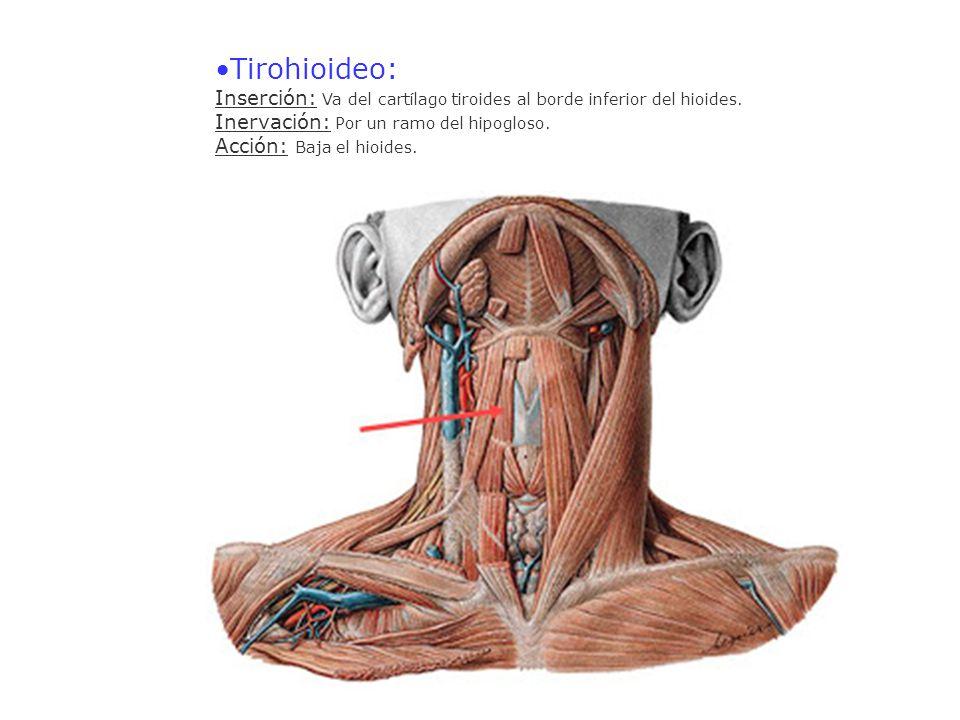 Tirohioideo: Inserción: Va del cartílago tiroides al borde inferior del hioides. Inervación: Por un ramo del hipogloso. Acción: Baja el hioides.