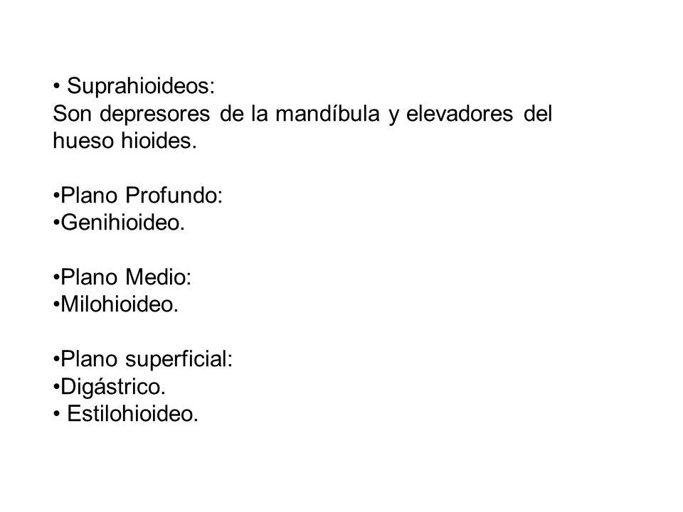 Suprahioideos: Son depresores de la mandíbula y elevadores del hueso hioides. Plano Profundo: Genihioideo. Plano Medio: Milohioideo. Plano superficial