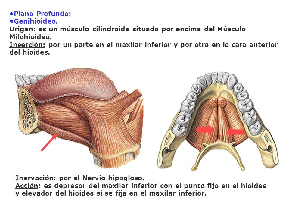 Plano Profundo: Genihioideo. Origen: es un músculo cilindroide situado por encima del Músculo Milohioideo. Inserción: por un parte en el maxilar infer