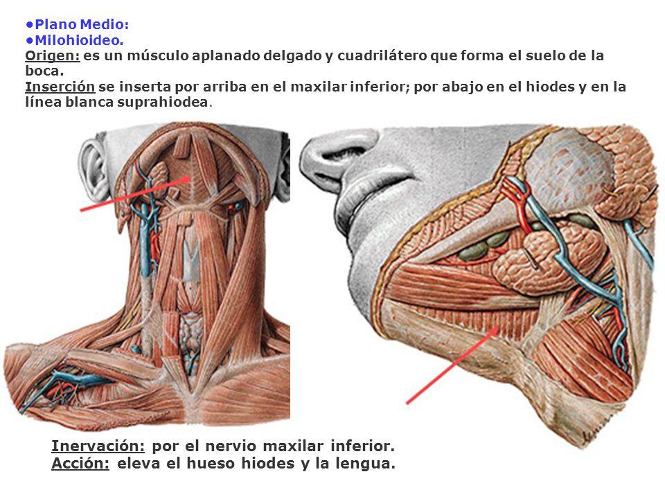 Plano Medio: Milohioideo. Origen: es un músculo aplanado delgado y cuadrilátero que forma el suelo de la boca. Inserción se inserta por arriba en el m