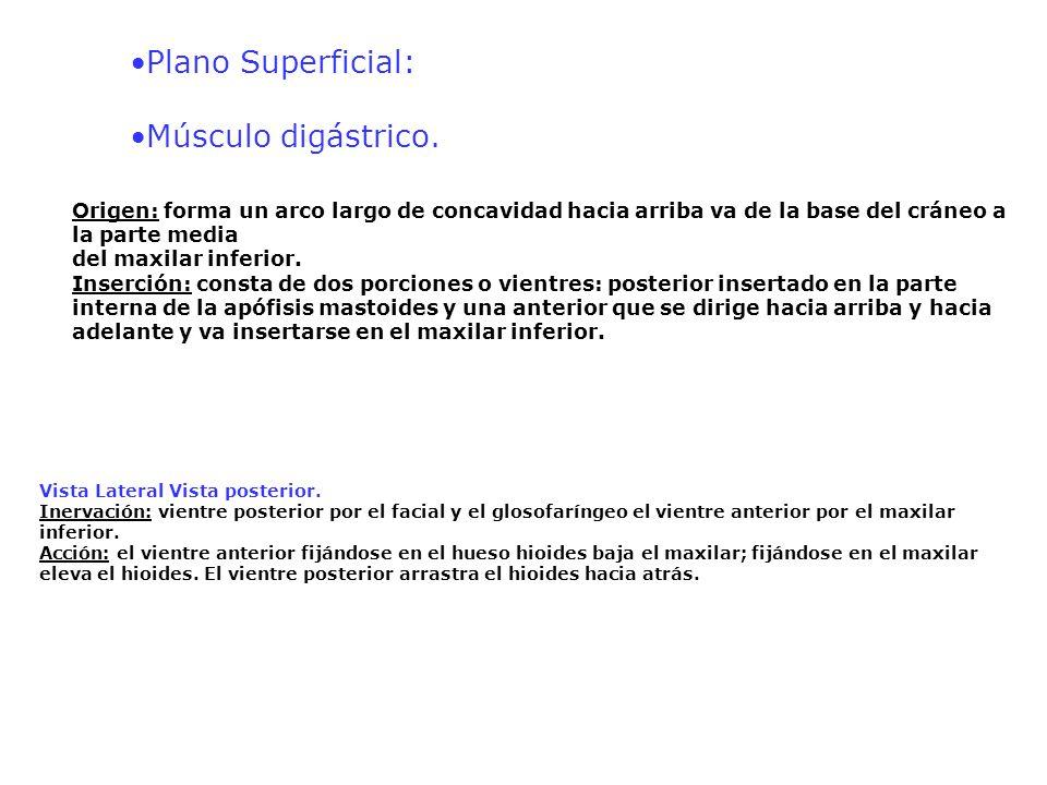 Plano Superficial: Músculo digástrico. Origen: forma un arco largo de concavidad hacia arriba va de la base del cráneo a la parte media del maxilar in