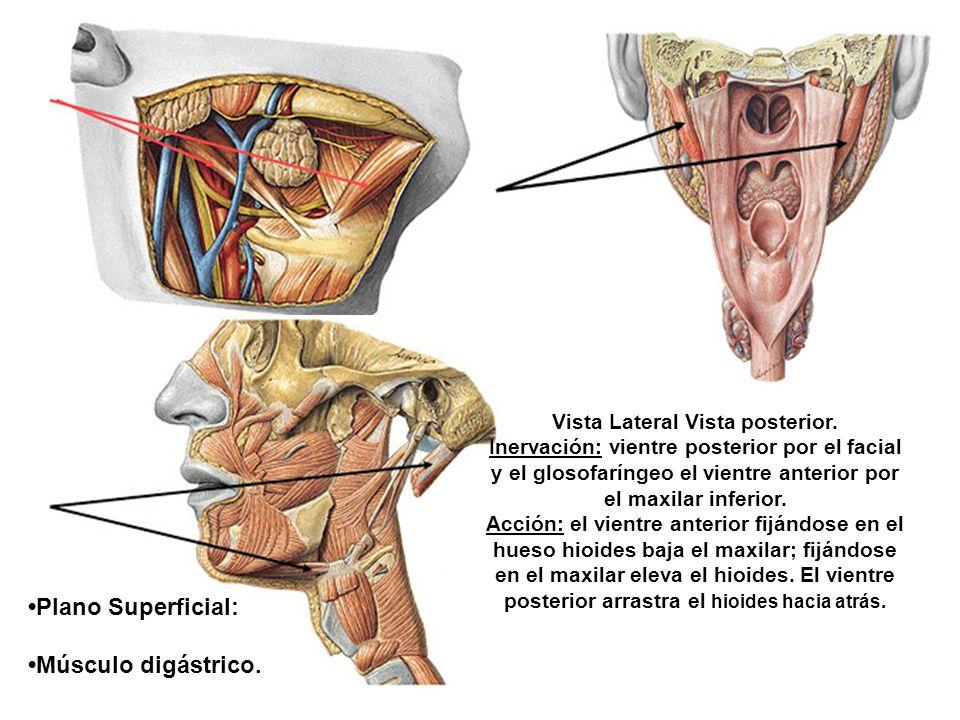 Plano Superficial: Músculo digástrico. Vista Lateral Vista posterior. Inervación: vientre posterior por el facial y el glosofaríngeo el vientre anteri