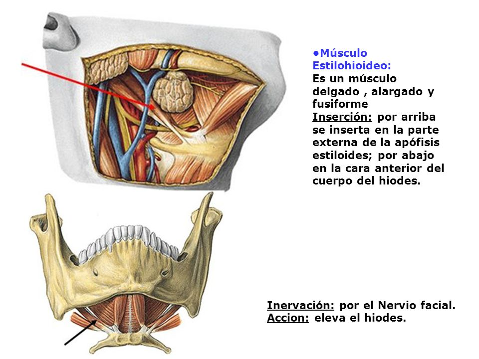 Músculo Estilohioideo: Es un músculo delgado, alargado y fusiforme Inserción: por arriba se inserta en la parte externa de la apófisis estiloides; por