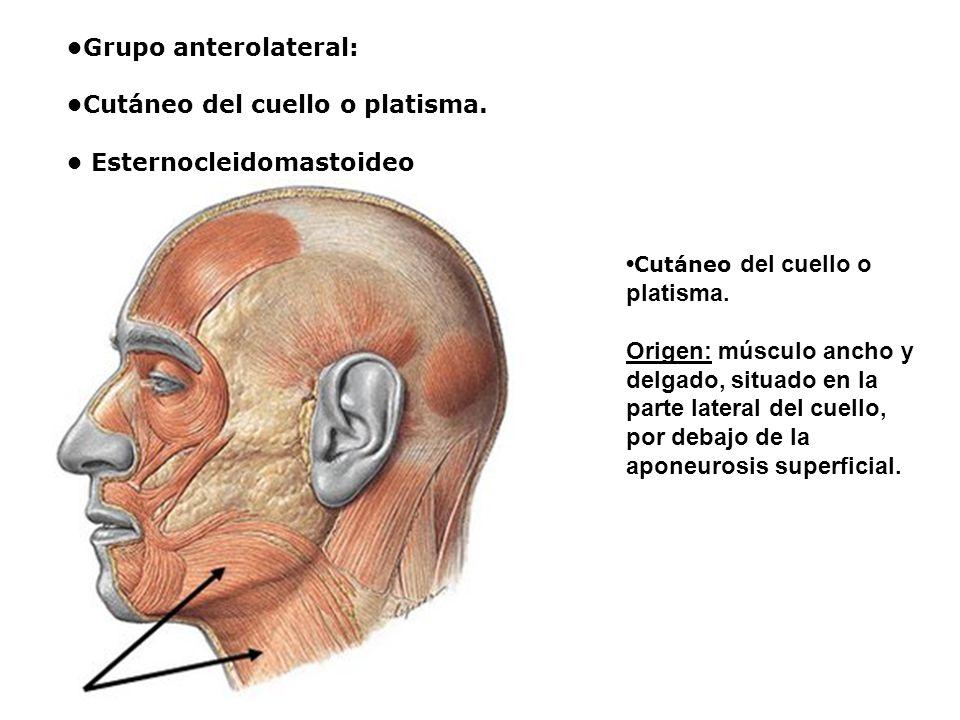 Grupo anterolateral: Cutáneo del cuello o platisma. Esternocleidomastoideo Cutáneo del cuello o platisma. Origen: músculo ancho y delgado, situado en