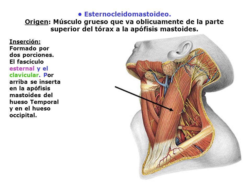 Esternocleidomastoideo. Origen: Músculo grueso que va oblicuamente de la parte superior del tórax a la apófisis mastoides. Inserción: Formado por dos