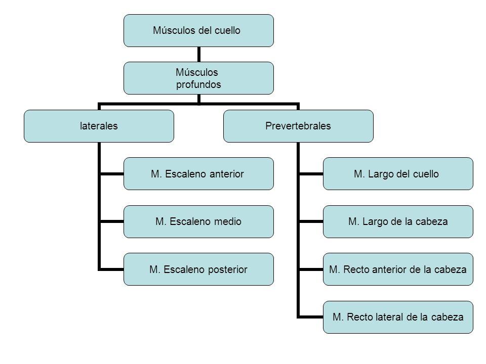 Músculos del cuello Músculos profundos laterales M. Escaleno anterior M. Escaleno medio M. Escaleno posterior Prevertebrales M. Largo del cuello M. La