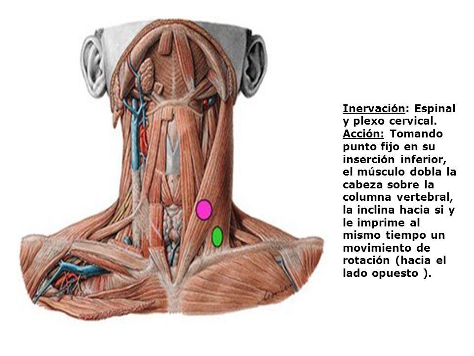 Inervación: Espinal y plexo cervical. Acción: Tomando punto fijo en su inserción inferior, el músculo dobla la cabeza sobre la columna vertebral, la i