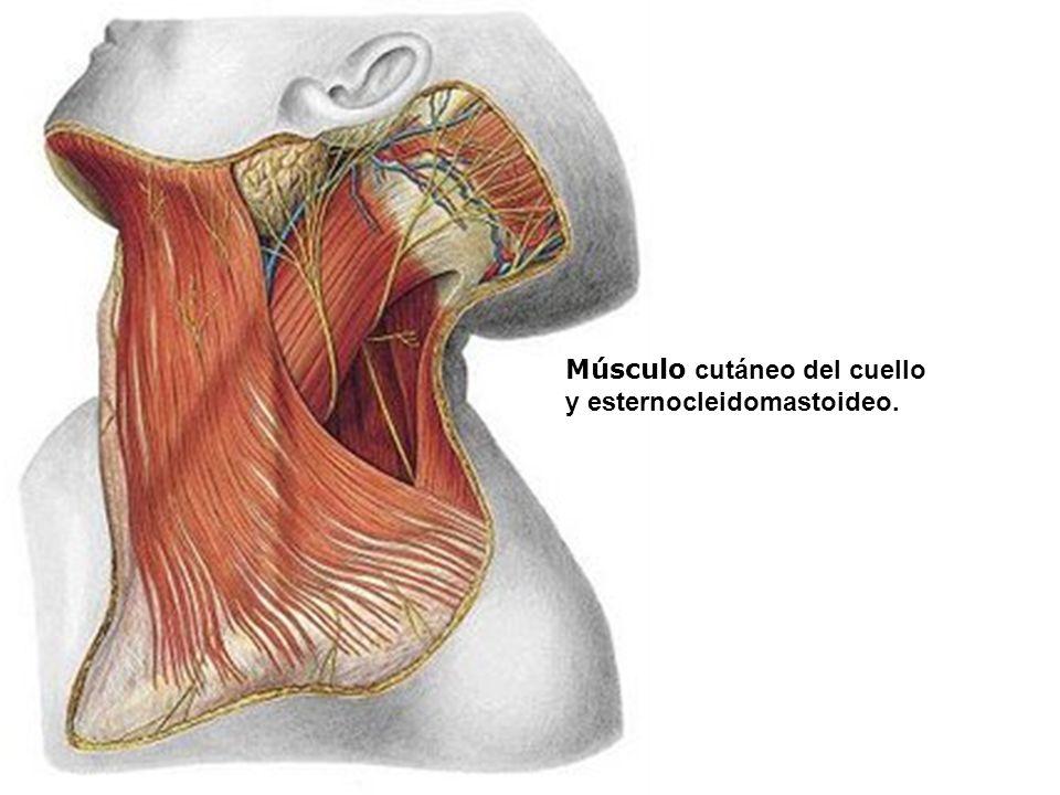Músculo cutáneo del cuello y esternocleidomastoideo.