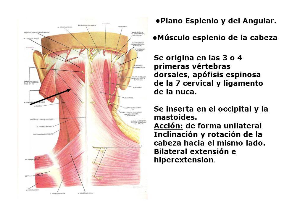 Plano Esplenio y del Angular. Músculo esplenio de la cabeza. Se origina en las 3 o 4 primeras vértebras dorsales, apófisis espinosa de la 7 cervical y