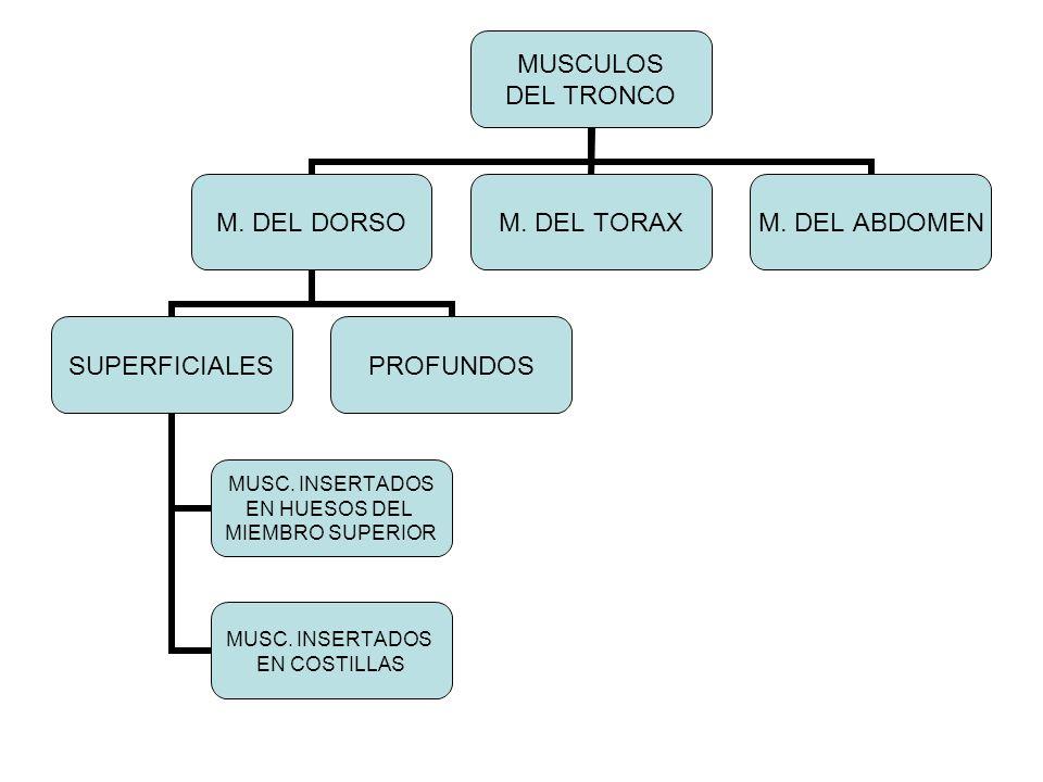 MUSCULOS DEL TRONCO M. DEL DORSO SUPERFICIALES MUSC. INSERTADOS EN HUESOS DEL MIEMBRO SUPERIOR MUSC. INSERTADOS EN COSTILLAS PROFUNDOS M. DEL TORAXM.