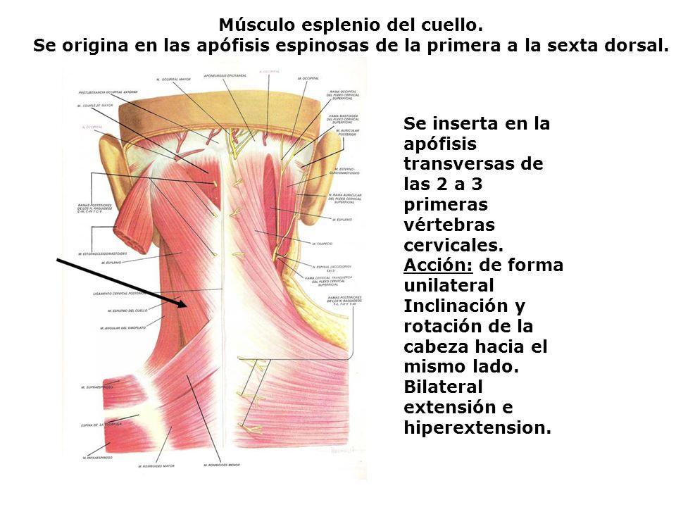 Músculo esplenio del cuello. Se origina en las apófisis espinosas de la primera a la sexta dorsal. Se inserta en la apófisis transversas de las 2 a 3