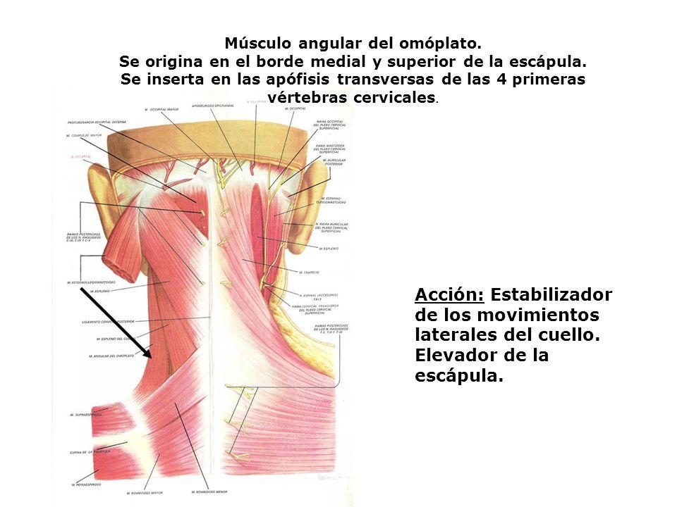 Músculo angular del omóplato. Se origina en el borde medial y superior de la escápula. Se inserta en las apófisis transversas de las 4 primeras vérteb