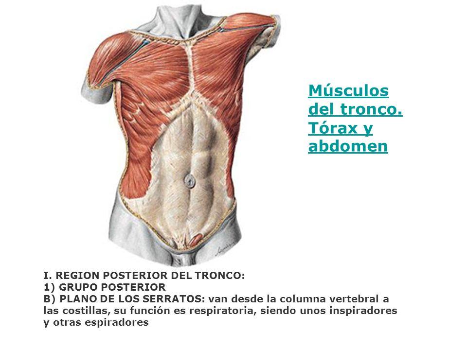 Músculos del tronco. Tórax y abdomen I. REGION POSTERIOR DEL TRONCO: 1) GRUPO POSTERIOR B) PLANO DE LOS SERRATOS: van desde la columna vertebral a las