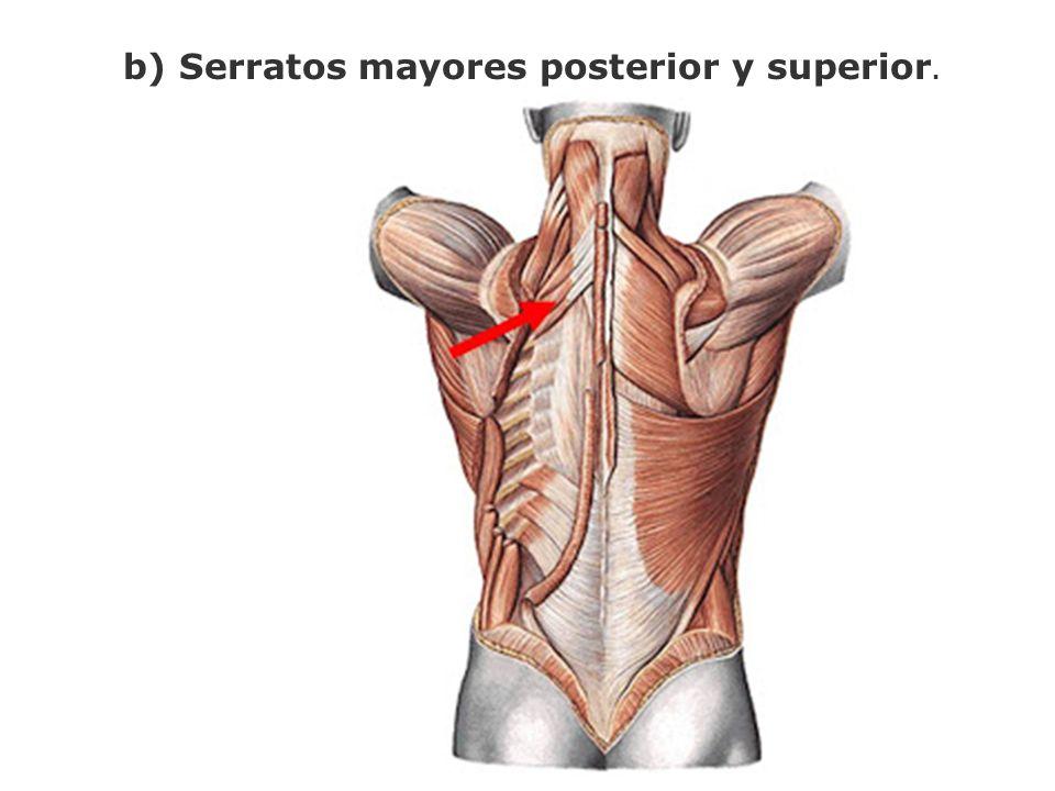 b) Serratos mayores posterior y superior.
