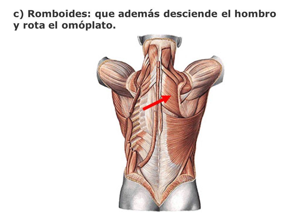 c) Romboides: que además desciende el hombro y rota el omóplato.