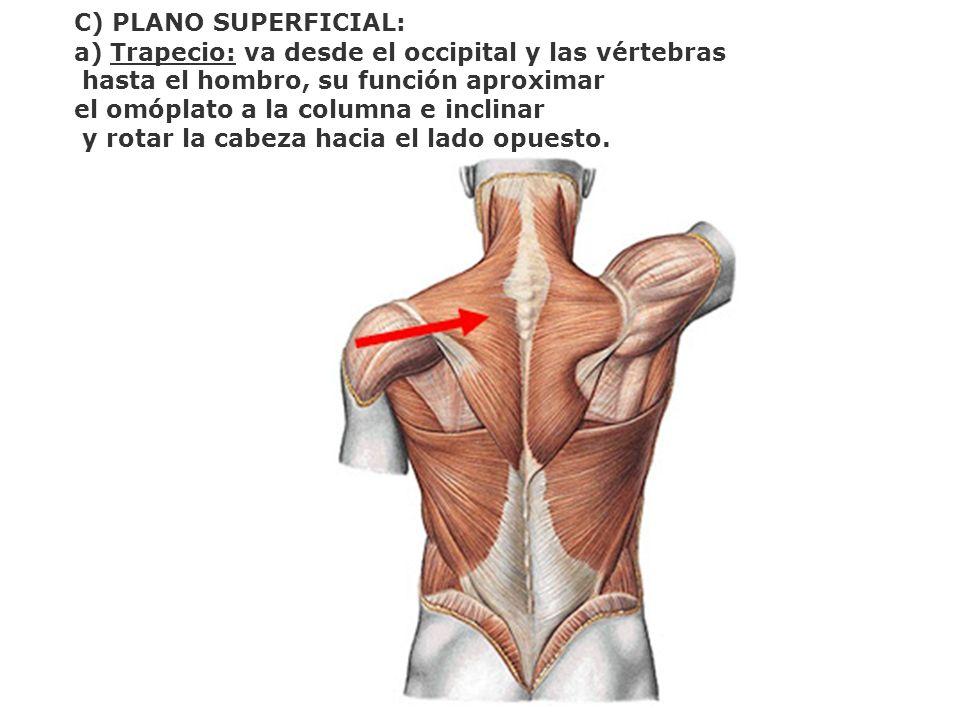 C) PLANO SUPERFICIAL: a)Trapecio: va desde el occipital y las vértebras hasta el hombro, su función aproximar el omóplato a la columna e inclinar y ro