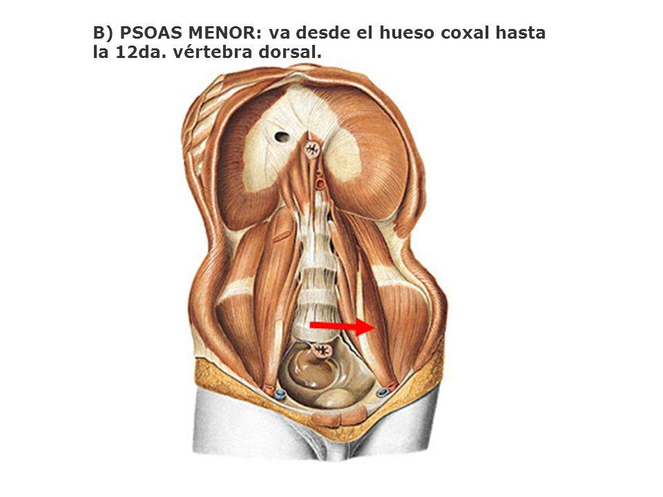 B) PSOAS MENOR: va desde el hueso coxal hasta la 12da. vértebra dorsal.