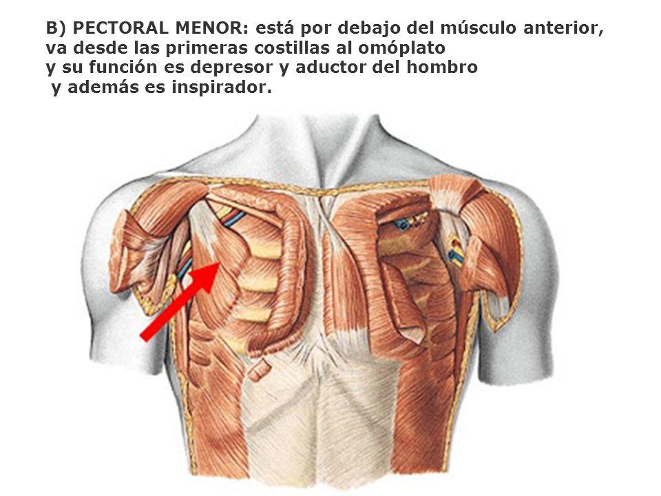 B) PECTORAL MENOR: está por debajo del músculo anterior, va desde las primeras costillas al omóplato y su función es depresor y aductor del hombro y a