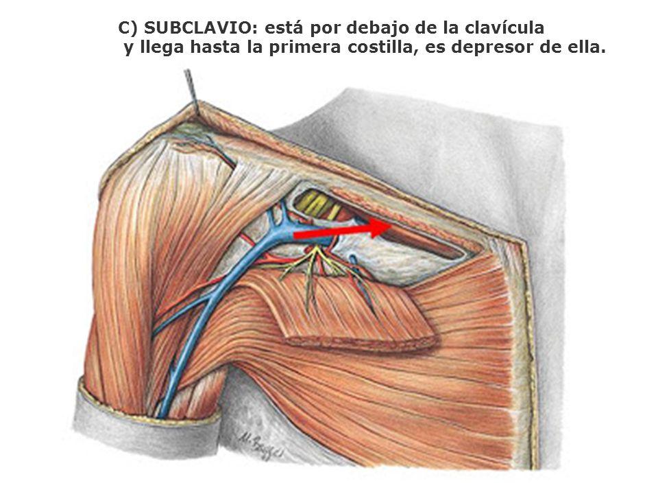 C) SUBCLAVIO: está por debajo de la clavícula y llega hasta la primera costilla, es depresor de ella.