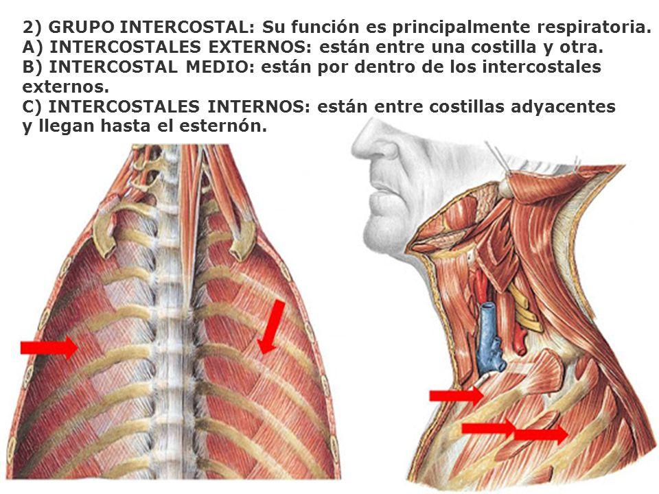 2) GRUPO INTERCOSTAL: Su función es principalmente respiratoria. A) INTERCOSTALES EXTERNOS: están entre una costilla y otra. B) INTERCOSTAL MEDIO: est
