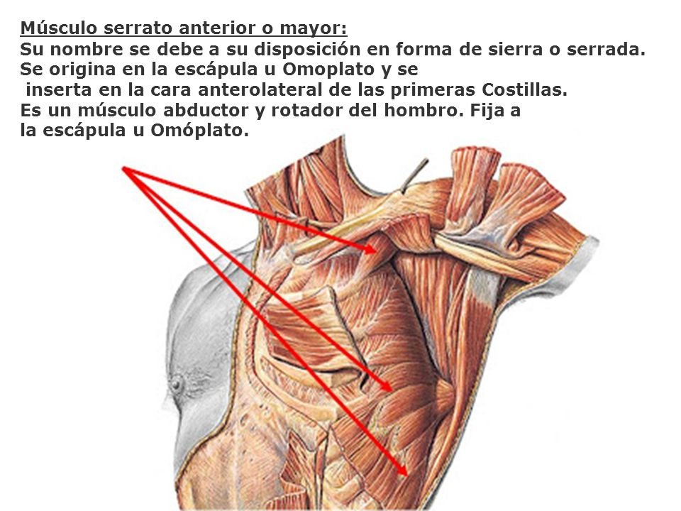 Músculo serrato anterior o mayor: Su nombre se debe a su disposición en forma de sierra o serrada. Se origina en la escápula u Omoplato y se inserta e