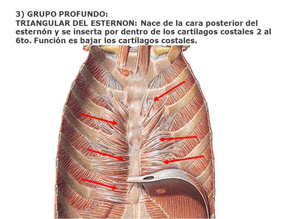 3) GRUPO PROFUNDO: TRIANGULAR DEL ESTERNON: Nace de la cara posterior del esternón y se inserta por dentro de los cartílagos costales 2 al 6to. Funció