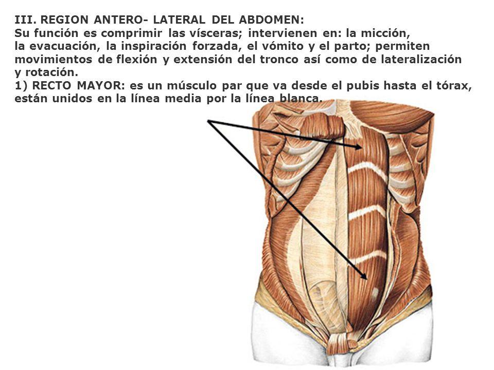 III. REGION ANTERO- LATERAL DEL ABDOMEN: Su función es comprimir las vísceras; intervienen en: la micción, la evacuación, la inspiración forzada, el v