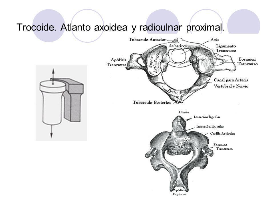 Trocoide. Atlanto axoidea y radioulnar proximal.