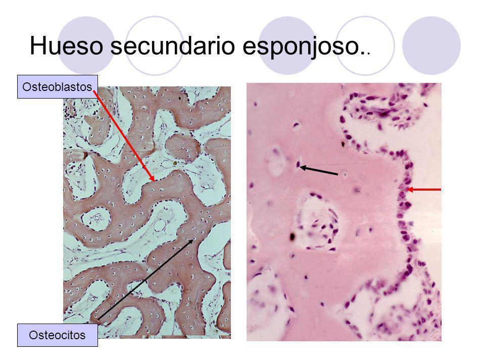 Hueso secundario esponjoso.. Osteocitos Osteoblastos