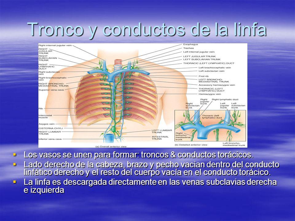Conducto Linfático Derecho (Cuadro 22.3) El conducto linfático derecho drena la linfa del lado superior derecho del cuerpo.