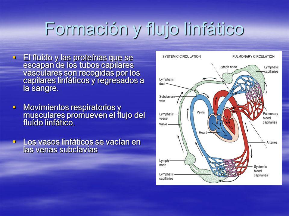 Formación y flujo linfático El fluído y las proteínas que se escapan de los tubos capilares vasculares son recogidas por los capilares linfáticos y re