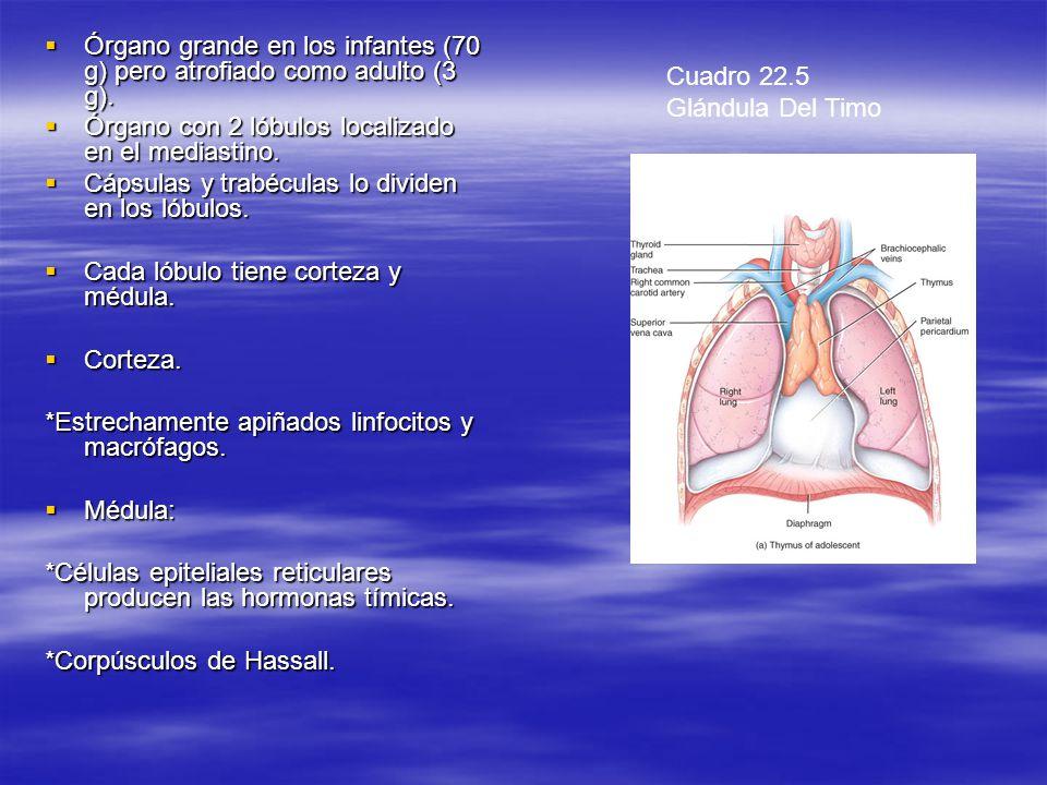 Órgano grande en los infantes (70 g) pero atrofiado como adulto (3 g).