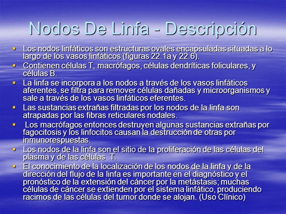 Nodos De Linfa - Descripción Los nodos linfáticos son estructuras ovales encapsuladas situadas a lo largo de los vasos linfáticos (figuras 22.1a y 22.