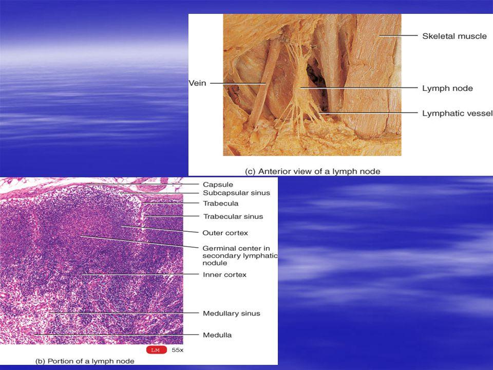 Nodos de la Linfa Órganos en forma de alubia, de más de 1 pulgada de largo, localizado a lo largo de los vasos linfáticos.