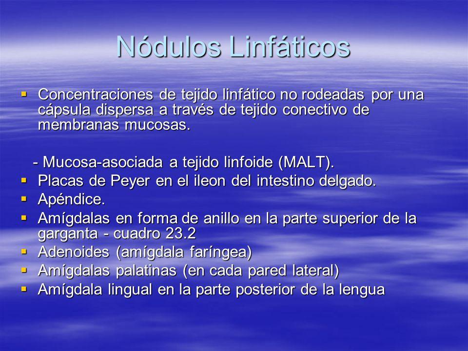 Nódulos Linfáticos Concentraciones de tejido linfático no rodeadas por una cápsula dispersa a través de tejido conectivo de membranas mucosas. Concent