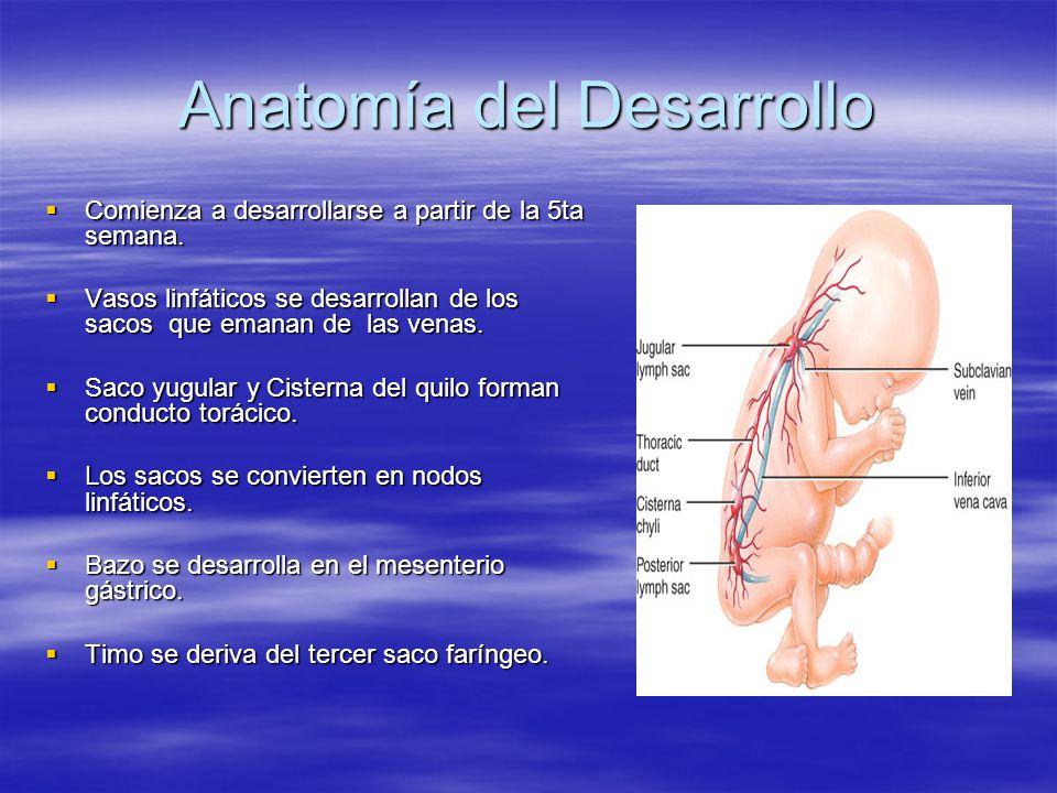 Anatomía del Desarrollo Comienza a desarrollarse a partir de la 5ta semana. Comienza a desarrollarse a partir de la 5ta semana. Vasos linfáticos se de