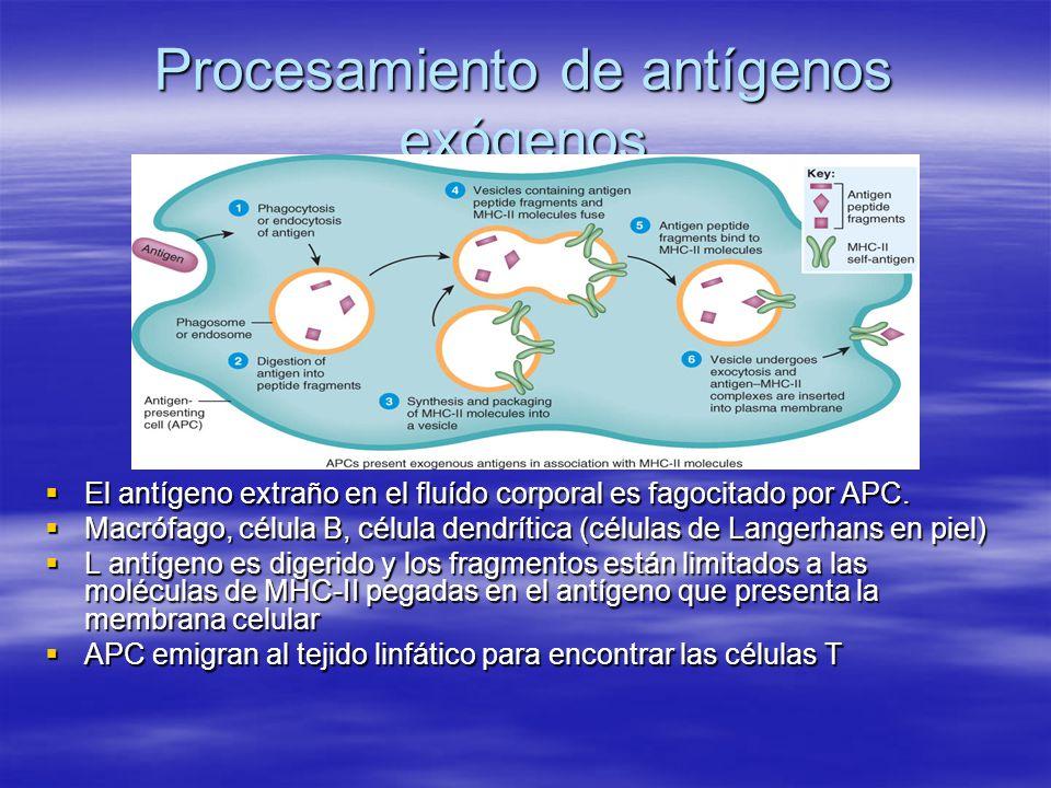 Procesamiento de antígenos exógenos El antígeno extraño en el fluído corporal es fagocitado por APC. El antígeno extraño en el fluído corporal es fago