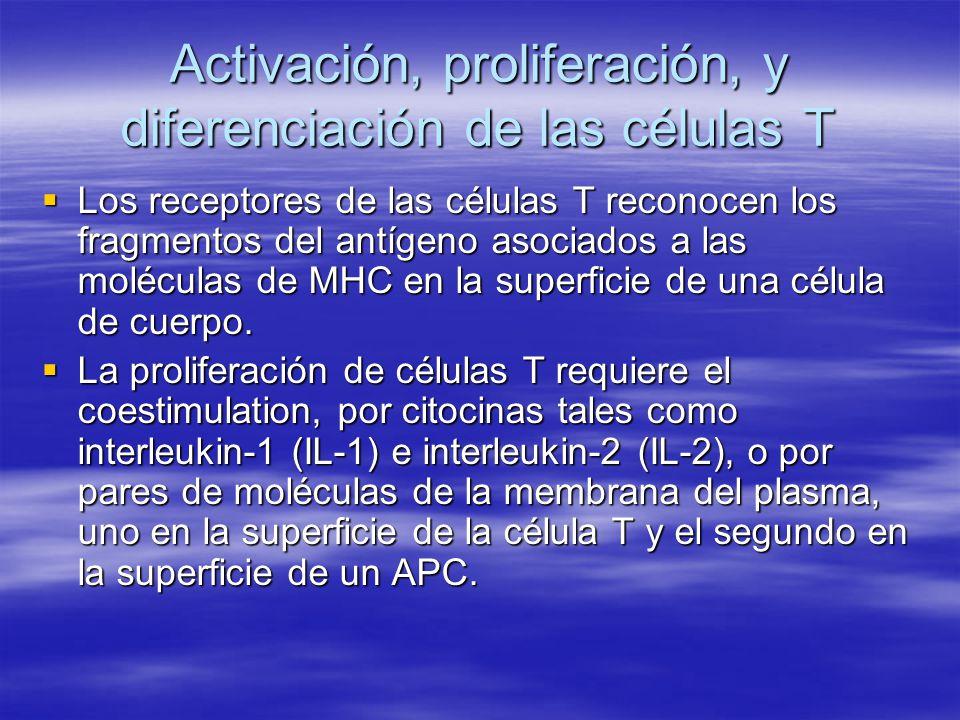 Activación, Proliferación y Diferenciación de las células T citotóxicas El receptor sobre la célula CD8 une parte del fragmento del antígeno extraño de MHC-I El receptor sobre la célula CD8 une parte del fragmento del antígeno extraño de MHC-I Coestimulación desde la célula T ayudante Coestimulación desde la célula T ayudante previene inmunorespuesta accidentales previene inmunorespuesta accidentales Proliferan y diferencian en la población (clones) de células Tc y de células Tc de la memoria.