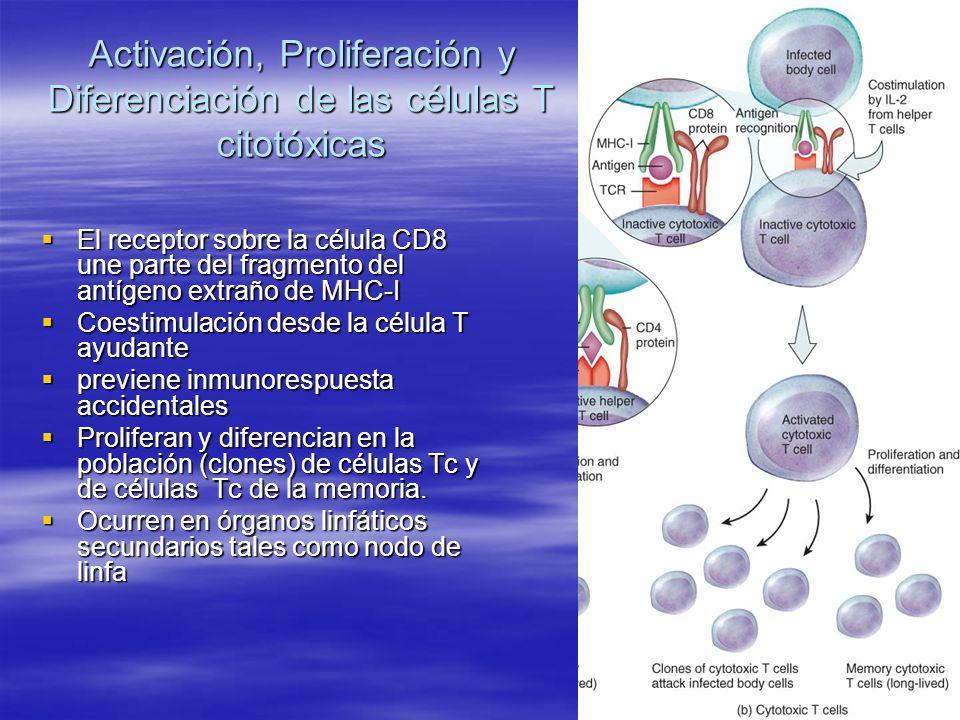 Activación, Proliferación y Diferenciación de las células T citotóxicas El receptor sobre la célula CD8 une parte del fragmento del antígeno extraño d
