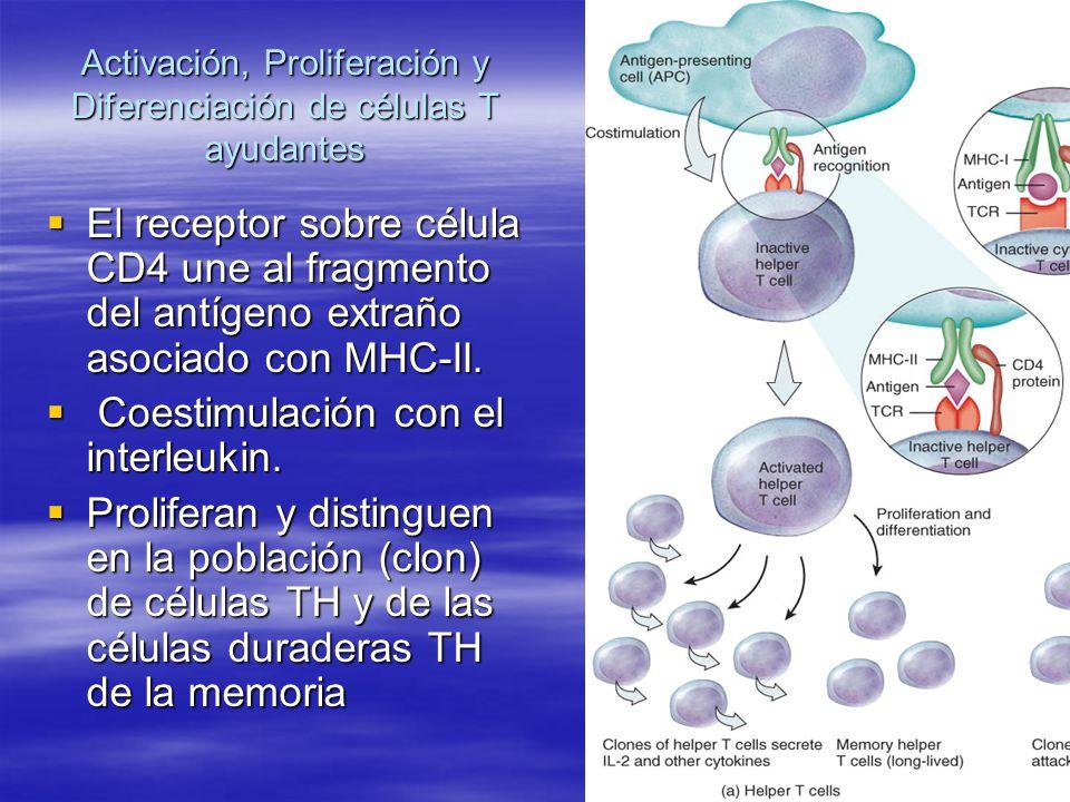 Descripción de las células T maduras Las células T (TH) de ayuda, o célulasT4, muestran proteína CD4, reconocen fragmentos del antígeno asociados a las moléculas de MHC-II, y secretan varias citocinas, más importante, interleukin-2, que actúa como coestimulator para otras células T de ayuda, células T citotóxicas, y células B (cuadro 22.14).