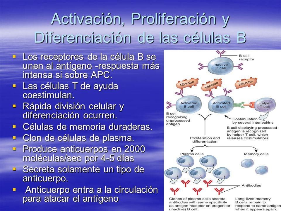 Activación, Proliferación y Diferenciación de las células B Los receptores de la célula B se unen al antígeno -respuesta más intensa si sobre APC. Los
