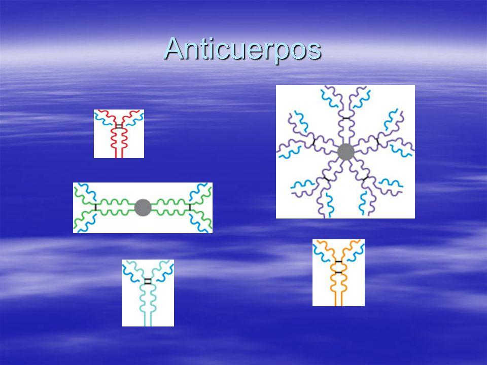 Acciones del Anticuerpo La neutralización del antígeno bloqueando efectos de las toxinas o previniendo su acoplamiento a las células de cuerpo.