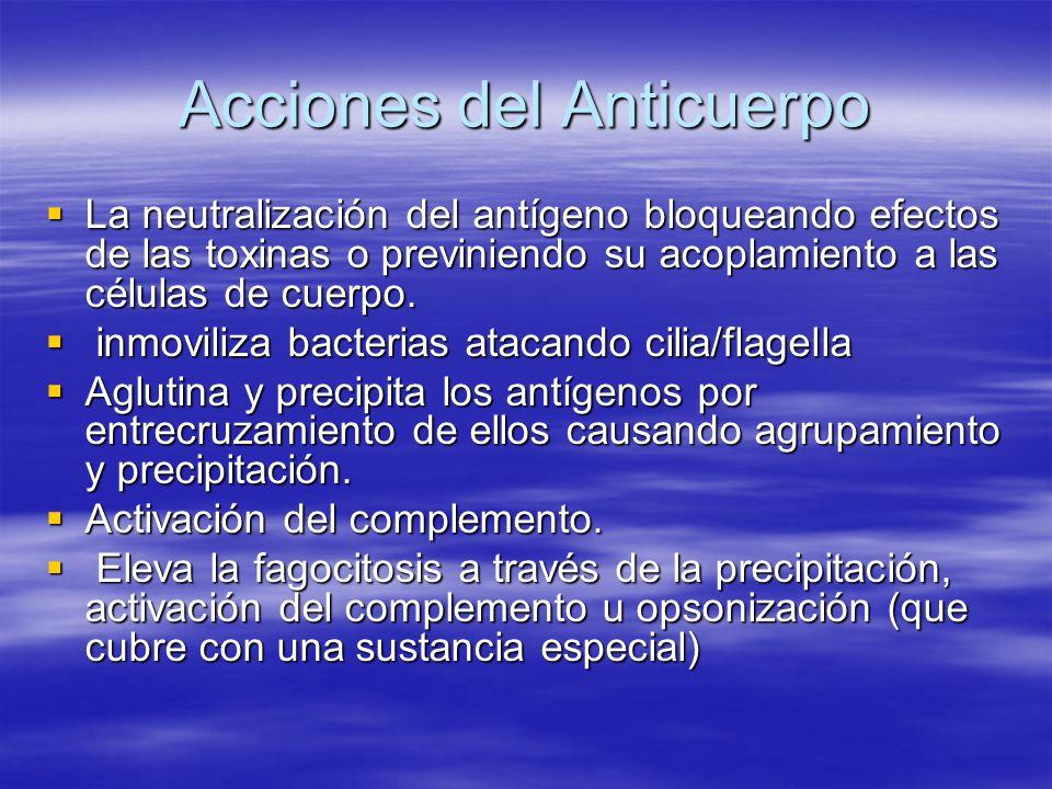 Acciones del Anticuerpo La neutralización del antígeno bloqueando efectos de las toxinas o previniendo su acoplamiento a las células de cuerpo. La neu
