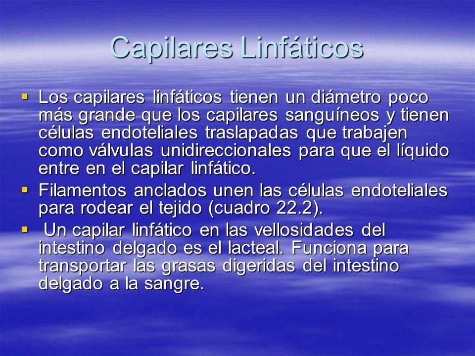 Capilares Linfáticos Son encontrados a través del cuerpo excepto en el tejido avascular (cartílago, epidermis & córnea) Son encontrados a través del cuerpo excepto en el tejido avascular (cartílago, epidermis & córnea) La estructura está diseñada para permitir la entrada del fluído al tejido, pero no para salir.