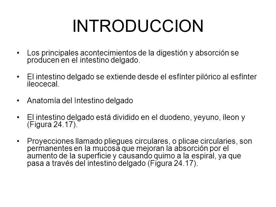 INTRODUCCION Los principales acontecimientos de la digestión y absorción se producen en el intestino delgado. El intestino delgado se extiende desde e
