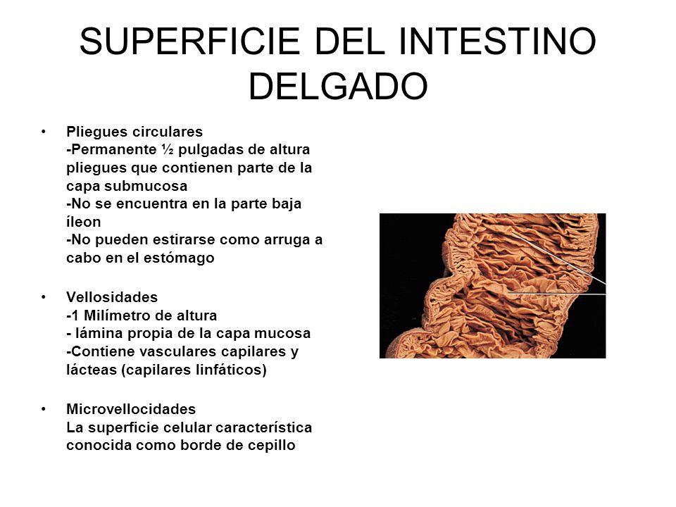 SUPERFICIE DEL INTESTINO DELGADO Pliegues circulares -Permanente ½ pulgadas de altura pliegues que contienen parte de la capa submucosa -No se encuentra en la parte baja íleon -No pueden estirarse como arruga a cabo en el estómago Vellosidades -1 Milímetro de altura - lámina propia de la capa mucosa -Contiene vasculares capilares y lácteas (capilares linfáticos) Microvellocidades La superficie celular característica conocida como borde de cepillo