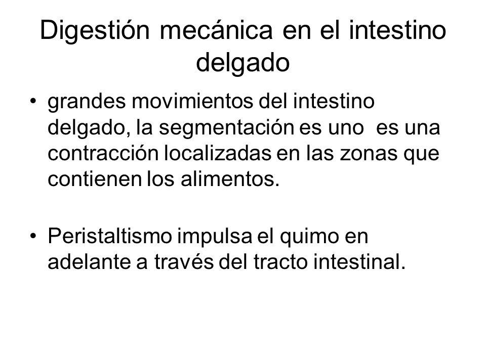 Digestión mecánica en el intestino delgado grandes movimientos del intestino delgado, la segmentación es uno es una contracción localizadas en las zon